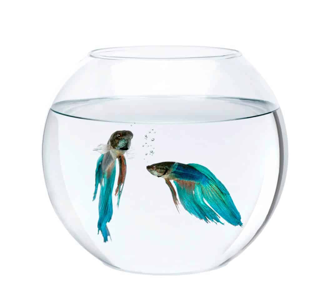 two beta fish in a bowl